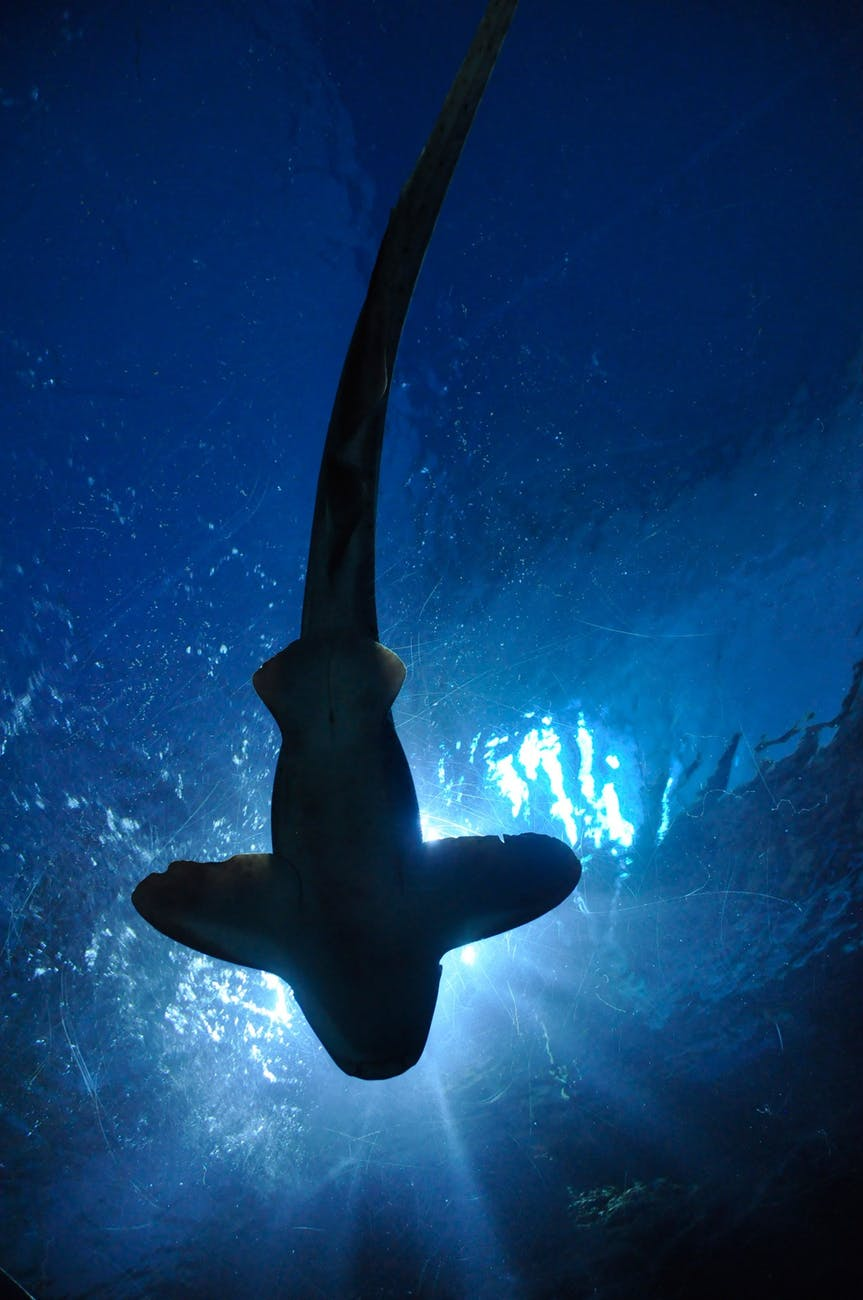 shark-fish-hammerhead-shark-aquarium-67854.jpeg